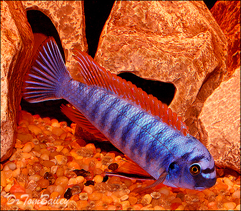 Premium Assorted Labeotropheus Trewavasae Mbuna Cichlid from Lake Malawi