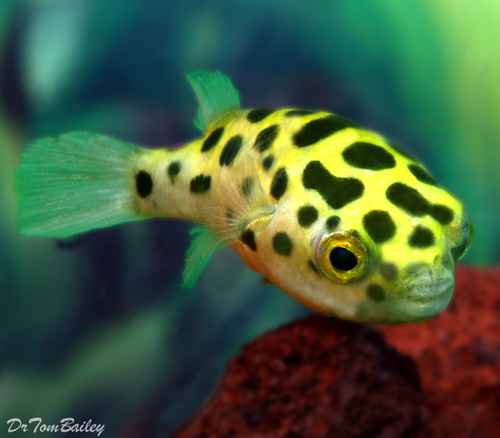 "Premium Wild Green Spotted Pufferfish, 1.5"" to 2"" long"