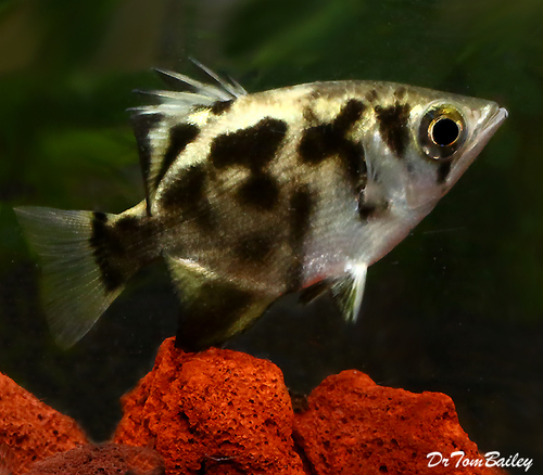 "Premium, New and Very Rare, Freshwater Clouded Archer Fish, 3"" to 3.5"" long"