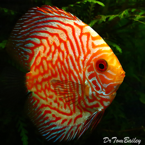 "Premium Gold & Red Discus, 2.5"" to 3"" long"