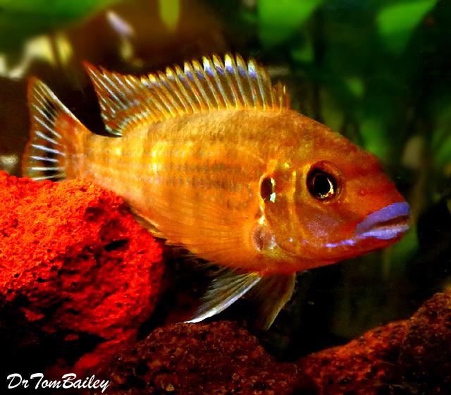 "Premium New Pseudotropheus Williamsi, Blue Lips Mbuna Cichlid, 2.5"" to 3"" long"