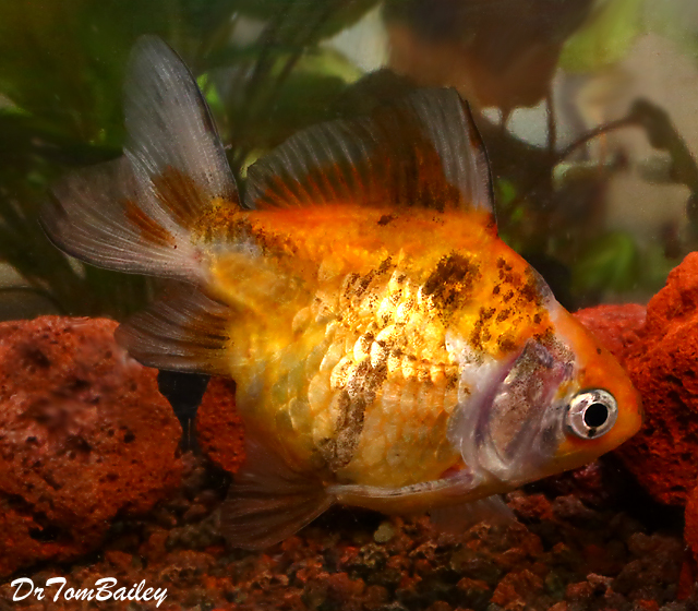 "Premium Short-Tail Calico Ryukin Goldfish, 2.5"" to 3"" long, only 1 left!"