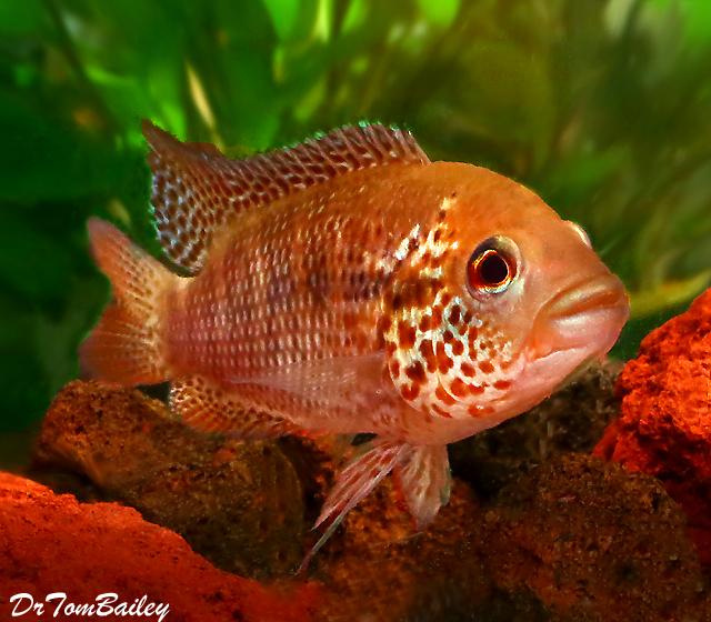 "Premium New Rare, Red Tiger Motaguensis Cichlid, 1.5"" to 2"" long"