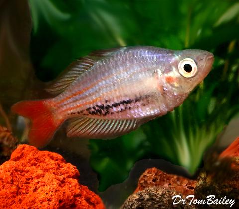 "Premium Rare MacCullochi Rainbowfish, Size: 1.5"" to 2"""