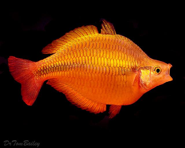 """Premium Lake Tebera Yellow Rainbowfish, 1"""" to 1.5"""" long"""
