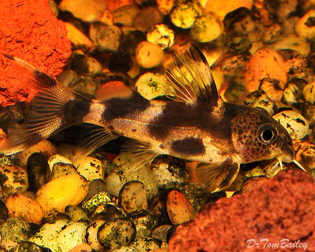 """Premium, Rare, Synodontis Decorus Catfish, 1.5"""" to 2"""" long"""