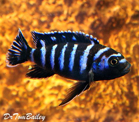 "Premium Demasoni Dwarf Mbuna Cichlid from Lake Malawi, 1"" to 1.2"" long"