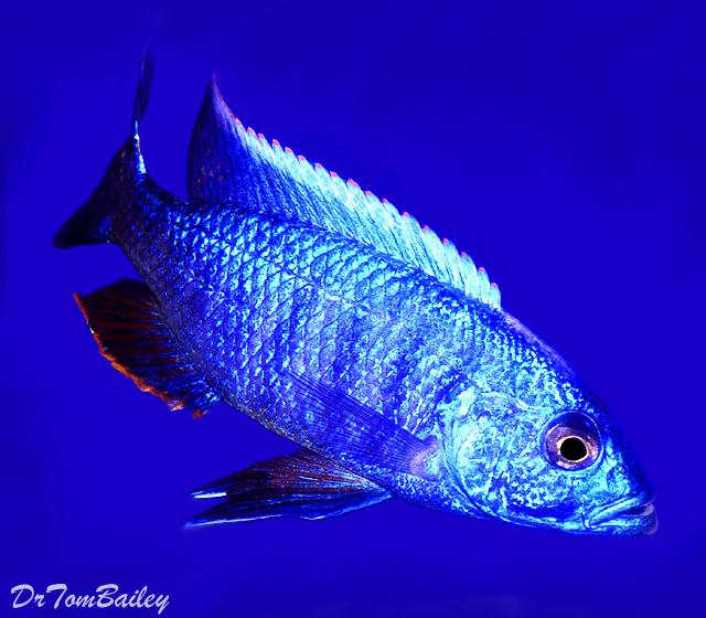 "Premium Lake Malawi Electric Blue Hap Male, 6"" to 7"" long, just one, and the best one we've ever seen."