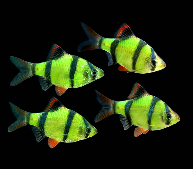"Premium Electric Very-Green Glofish Tiger Barb, 1.5"" to 2"" long"