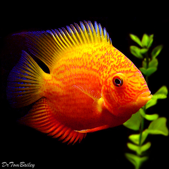 """Premium Red Spotted Severum Cichlid, 2"""" to 2.25"""" long"""