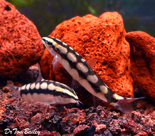 "Premium Dwarf Siam Loach, 1"" to 1.5"" long"