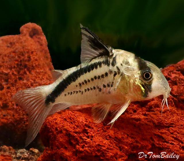 """Premium WILD, New and Rare Loxozonus Corydoras Catfish, Size: 1"""" to 1.5"""""""