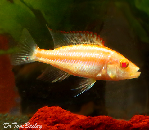 "Premium Lake Malawi Albino Eye-Biter Compressiceps Hap, 4"" to 5"" long"