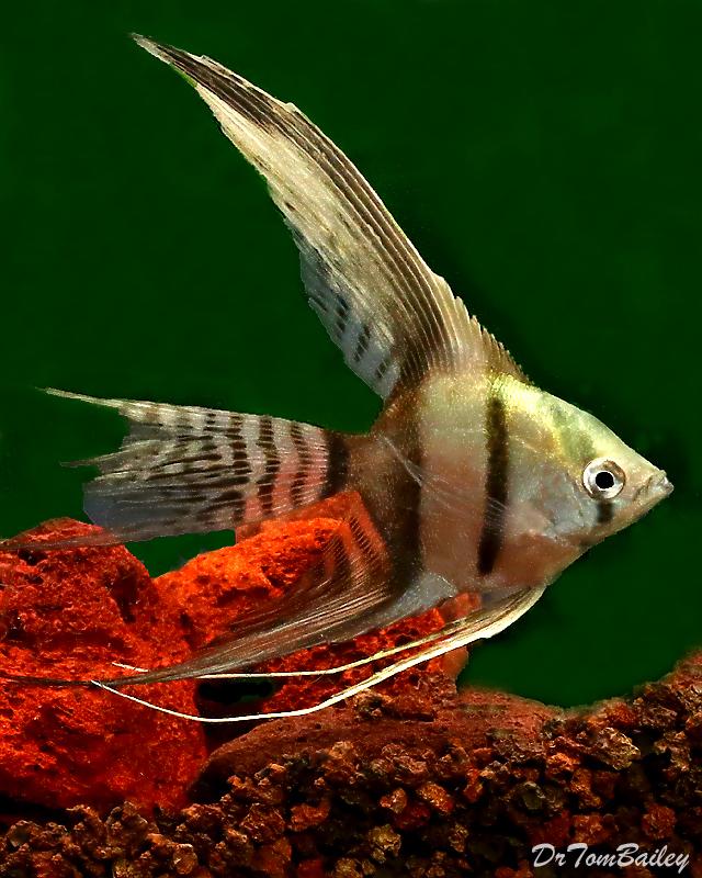 "Premium Half-Black Veiltail Angelfish, 2.5"" to 3"" tall, Nice thick bodies!"