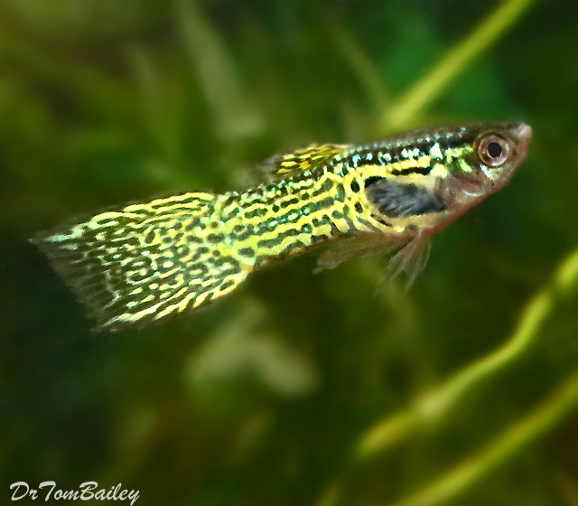 "Premium Male Cobra Endler's Livebearer, 1"" to 1.2"" long"