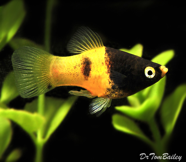 "Premium Rare Honeybee Platy, 1"" to 1.5"" long"