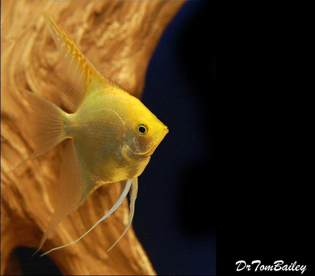 """Premium Gold Angelfish, 2.5"""" to 3"""" tall"""