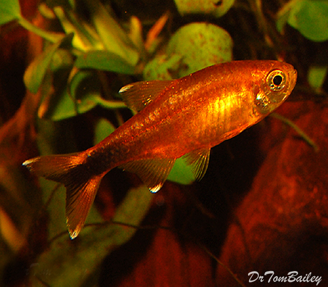 "Premium Silver Tip Tetra, 1.5"" to 2"" long"