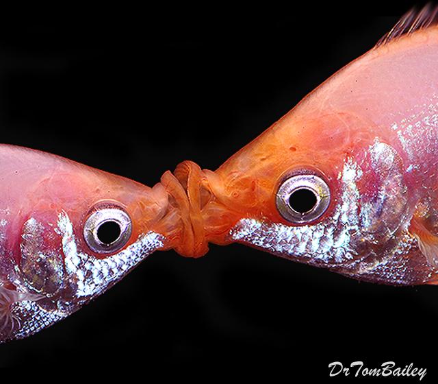 "Premium Pink Kissing Fish, 2"" to 2.5"" long"