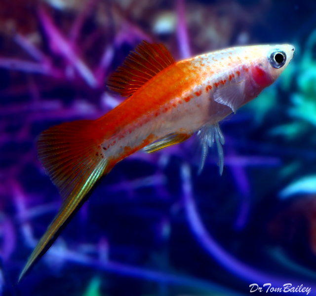 """Premium MALE Pineapple Swordtail, 1.5"""" to 2"""" long (Males only no females in this code.)"""