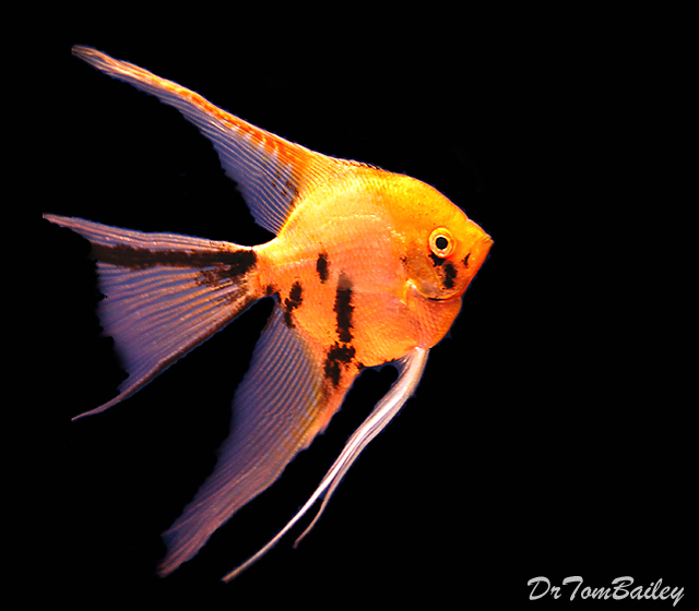 """Premium Gold Marbled Angelfish, 1"""" to 1.5"""" tall"""