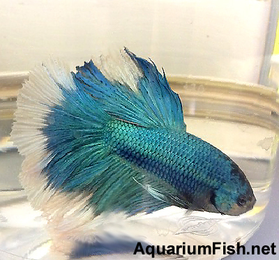 "Premium MALE Blue Halfmoon Betta Fish, 2"" to 2.5"" long"