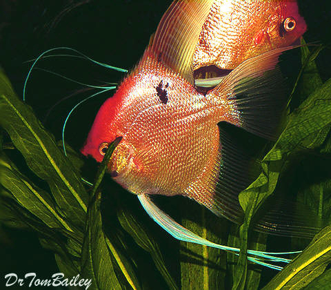 "Premium Gold Marbled Angelfish, 3"" to 3.5"" tall"