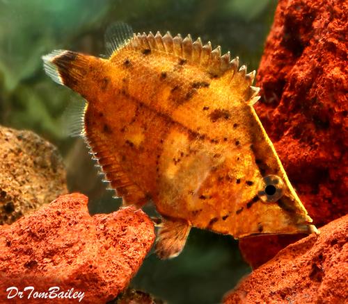 "Premium Rare True South American Leaf Fish, 2.5"" to 3"" long"