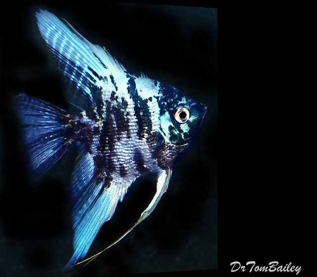 "Premium Rare Marbled Blue Angelfish, 2.5"" to 3"" tall"