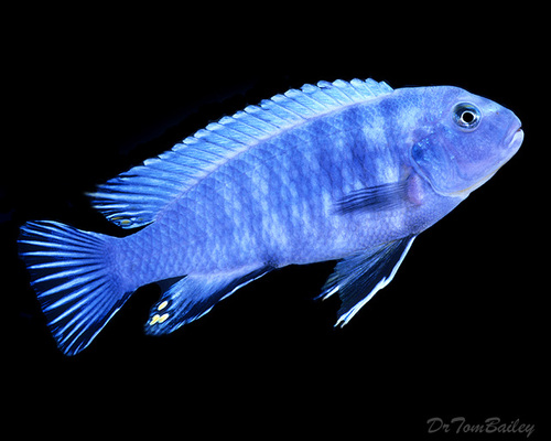 "Premium Socolofi Mbuna Cichlid from Lake Malawi, 3"" to 3.5"" long"