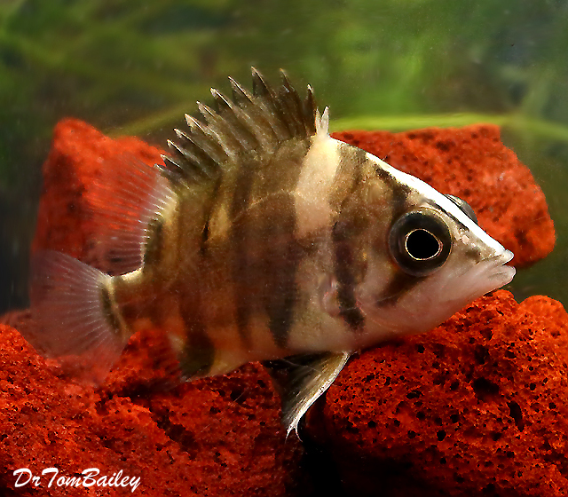 """Premium Wild Indonesian Gold Tiger Datnioides, 1"""" to 1.5"""" long"""