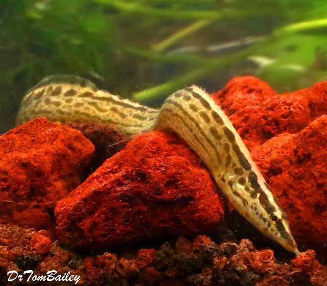 "Premium Freshwater Tiretrack Eel, 8"" to 10"" long"