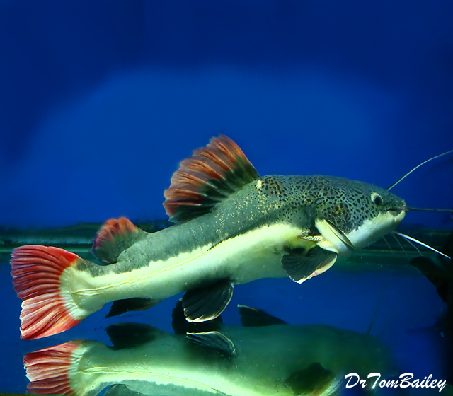 "Premium Rare, South American Redtail Catfish,  2"" to 2.5"" long"