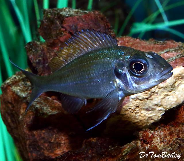 "Premium Lake Tanganyika Female Opthalmotilapia Ventralis ""Chaitika Black Head Variation"" Cichlid, 2"" to 2.5"" long"
