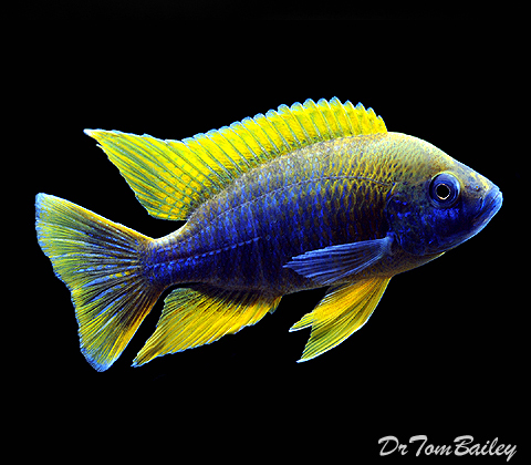 "Premium Lake Malawi Lemon Jake Cichlid Male, 3.5"" to 4"" long"