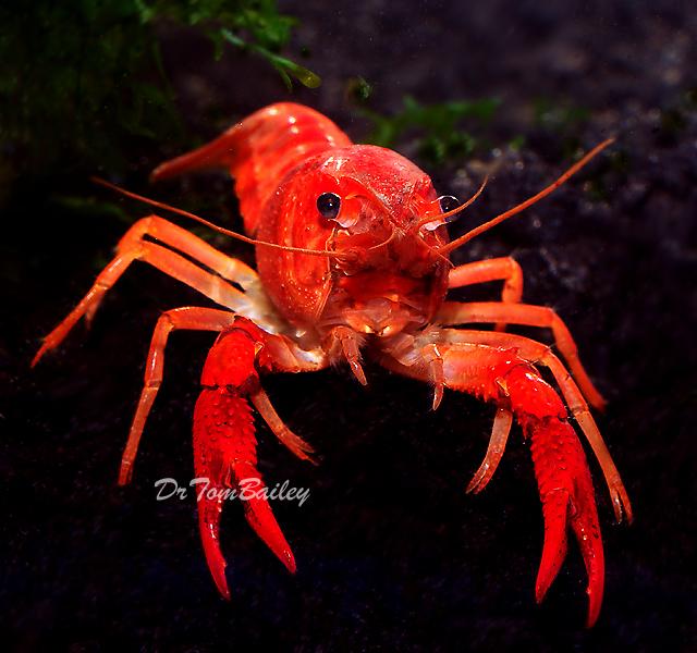"""Premium Freshwater Red Crayfish, 2.5"""" to 3"""" long"""
