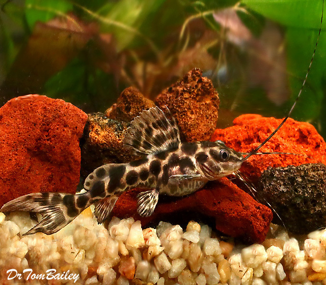 "Premium Leopard Achara Catfish, 3.5"" to 4"" long"