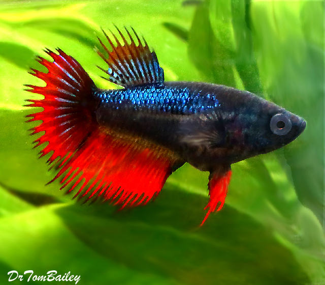 "Premium Assorted Colors Crowntail Female Betta Fish, 1"" to 1.5"" long"