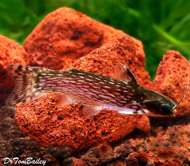 "Premium Milky Way Wood Catfish, 1.5"" to 2"" long"