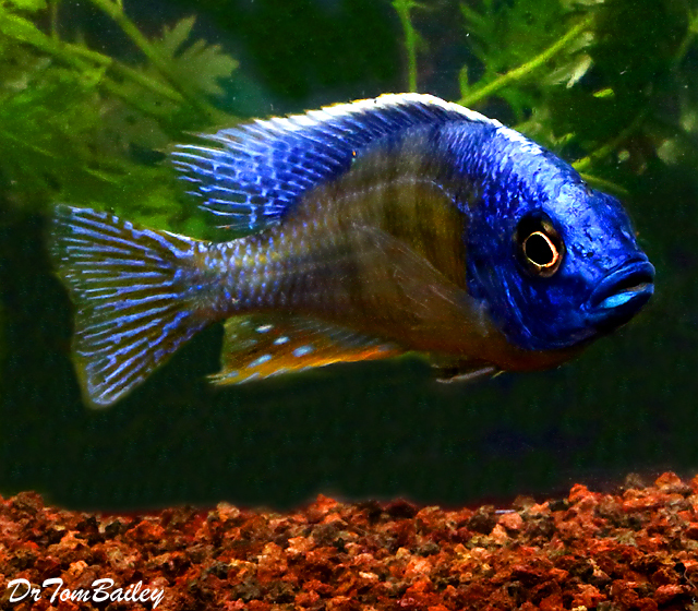 "Premium MALE Lake Malawi Taiwan Reef Haplo Cichlid, 4"" to 4.5"" long"