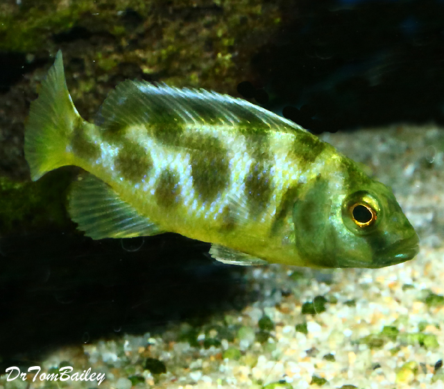 "Premium Lake Malawi Venustus Haplo Cichlid, 1.5"" to 2"" long"
