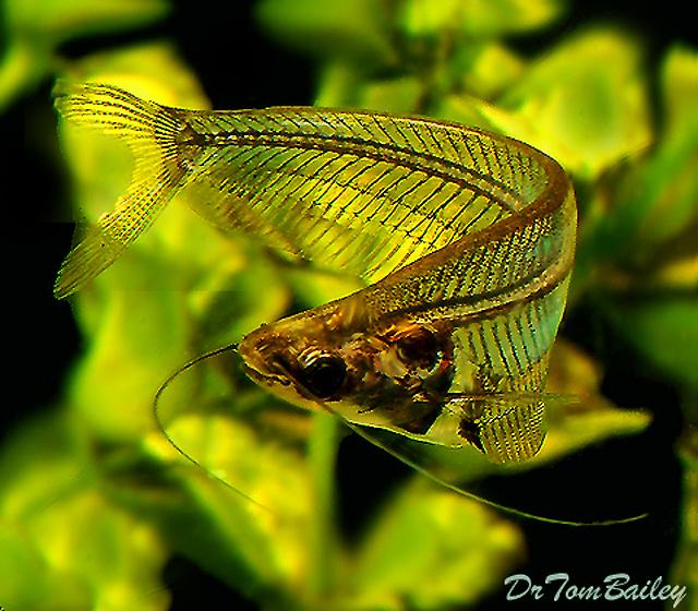 "Premium Ghost Catfish, 2.5"" to 3"" long"