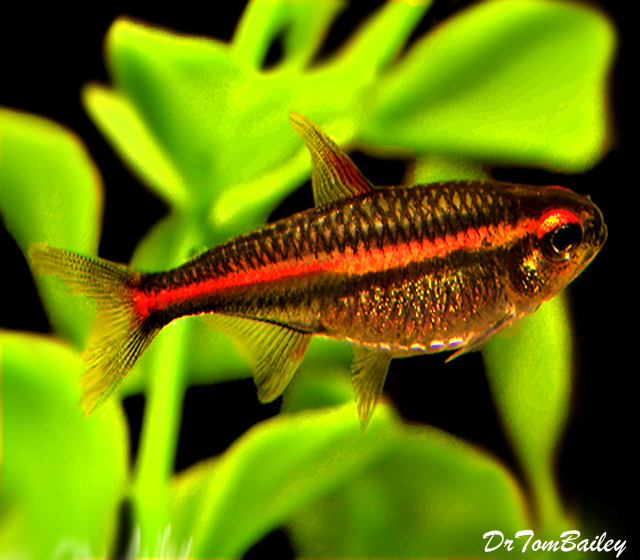 "Premium Glowlight Tetra, 0.75"" to 1"" long"