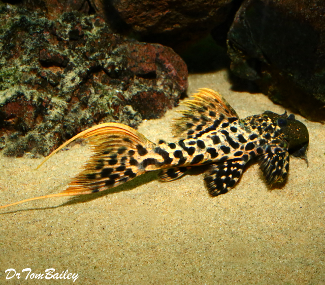 Premium New and Rare, WILD, Titanic Pleco, L273