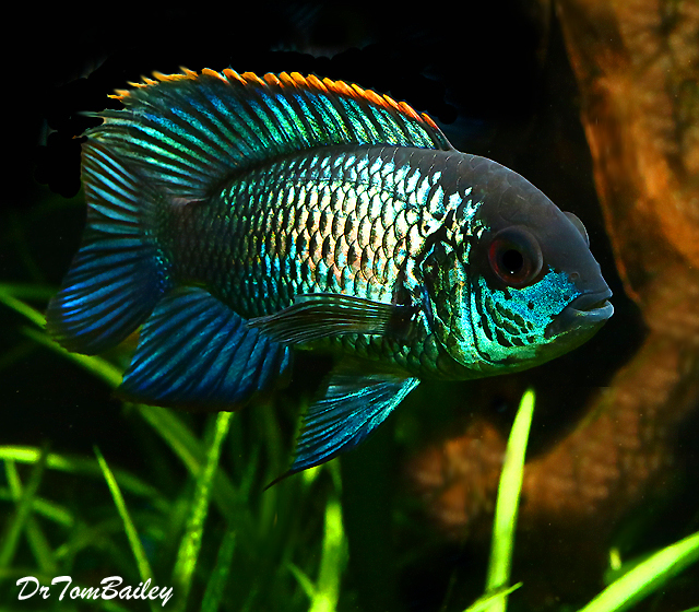 "Premium New Metallic Blue Acara Cichlid, 3.5"" to 4"" long"