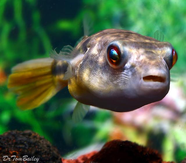 """Premium Freshwater Fahaka Pufferfish, 2.5"""" to 3"""" long"""