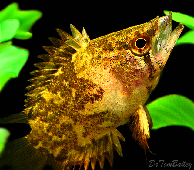 "Premium African Leaf Fish, Size: 1.5"" to 2"""
