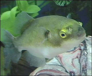 "Premium New Rare, Freshwater Avocado Pufferfish, 4"" to 4.5"" long, plump and eating premium pellets."