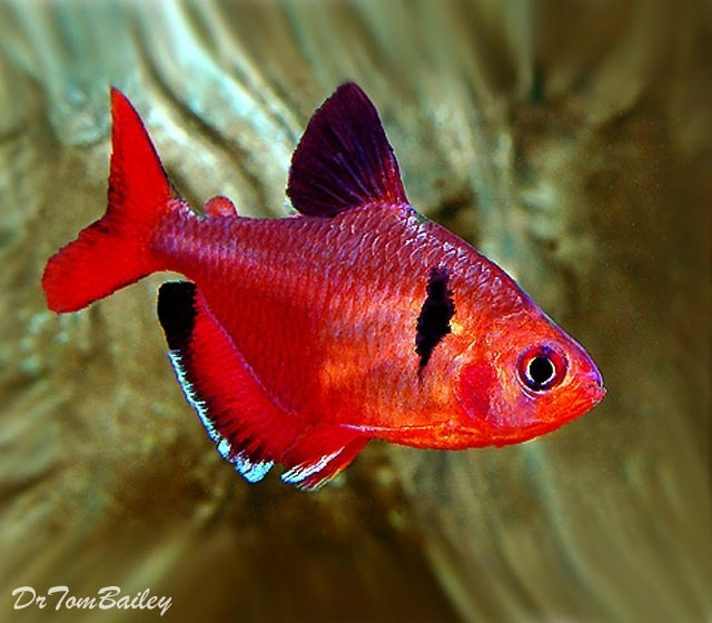 "Premium Red Serpae Tetra, 1.5"" to 2"" long"