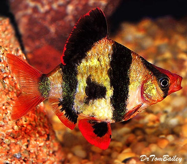 "Premium Tiger Barb, 1"" to 1.2"" long"